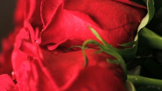 Red Rose Petal Super Close Up