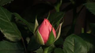 Red Roses Time Lapse