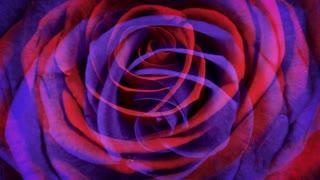 Red Violet Roses