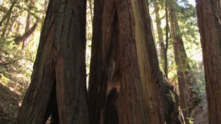 Redwood Trunk Tilt 2
