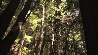 Redwoods Tilt