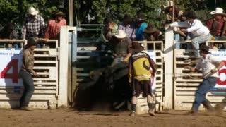 Releasing Wild Rodeo Bull