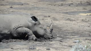 Rhino laying down in the mud in hluhluwe imfolozi park South Africa