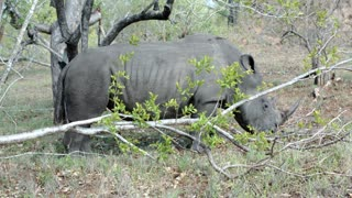Rhino walking and eating grass in Kruger National Park South Africa