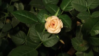 Rose Time Lapse Rotaition