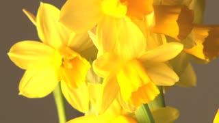 Rotating Daffodils
