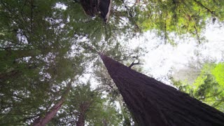 Rotating Looking Up at Redwood Trees