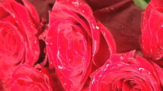 Rotating Wet Red Roses