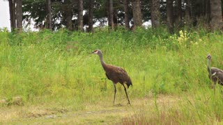 Sandhill Crane Family Walking Down Country Road