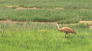 Sandhill Crane in Marshland