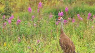 Sandhill Crane in Meadow