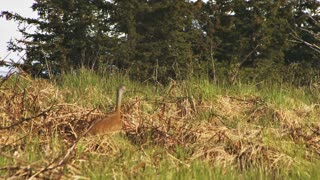 Sandhill Crane Stalking Through Alaskan Forest Meadow