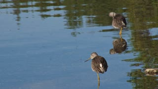 Sandpipers Preening in the Shallows