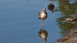 Sandpipers Reflecting in the Shallow Water