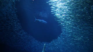 Sardines Avoid Shark In Aquarium