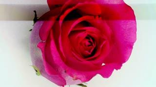 Scanner Rose