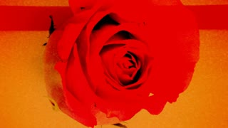 Scanning Red Rose