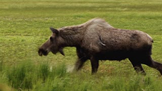 Scarred Moose in Marshland Slow Motion