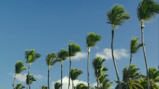 Scene of high palms with tops swinging in the wind against blue sky background