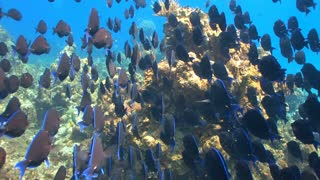 School of Blue and Gray Fish