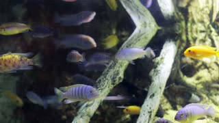 School of Fish Swarm