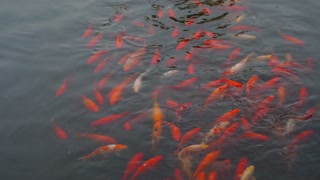 School of Goldfish in Chinese Pond