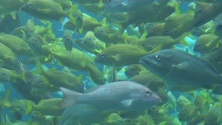 School of Tropical Yellow Fish