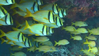 Schools of Colorful Fish Under Reef