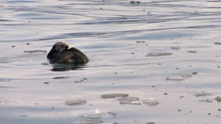 Sea Otter Grooming Himself in Icy Water