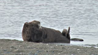 Sea Otter on Shore Scrunching Head Fur
