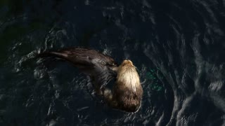 Sea Otter Plays In Water