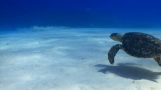 Sea Turtle and Stingray on Ocean Floor