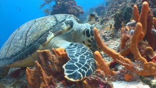Sea Turtle Eating in Coral Reef