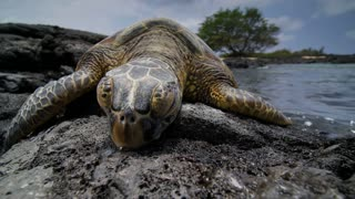 Sea Turtle Front View