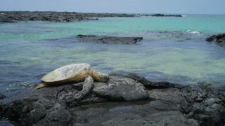 Sea Turtle Laying on Rocks