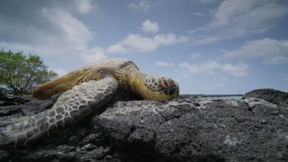 Sea Turtle Lays on Rocks