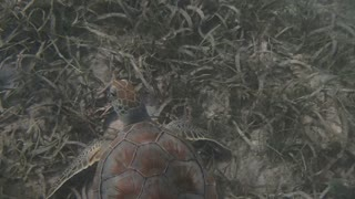 Sea Turtle Swimming Along Sea Grass
