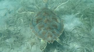 Sea Turtle Swimming Over Sea Grass on the Ocean Floor