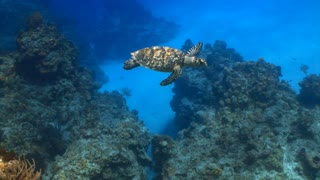 Sea Turtle Swimming Past Diver