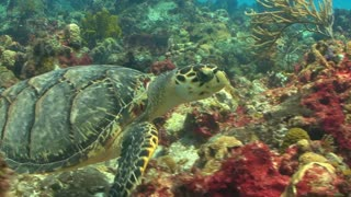 Sea Turtle Swimming Through Coral Reef