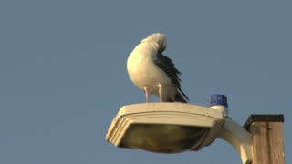 Seagull Ruffling Feathers Atop Light Pole