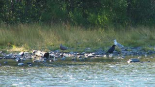 Seagulls Eating Salmon Carcasses on the Shoreline
