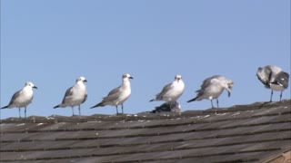 Seagulls Standing in a Row on Roof