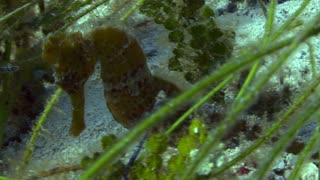 Seahorse Moving Along Seabed