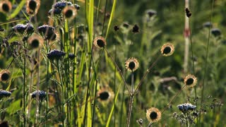 Seedpods and Grassy Wildflowers in Meadow