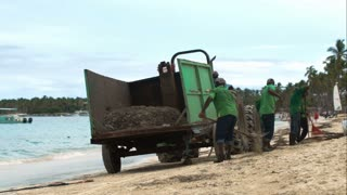 Several workers cleaning beach from sea weed. They put wrack into the container attached to tractor