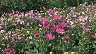 Shades of Pink Asters