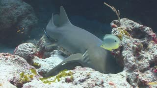 Shark Swimming Around Coral Reef