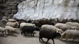 Sheep and goats. Mountain goats, Spiti Valley, Himachal Pradesh, India