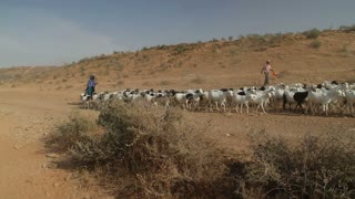 Shepherds Herd Goats Through Desert